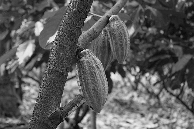 Aussenhandel: Kakaobohnen auf einer Plantage in Indonesien. (Wikimedia Commons)